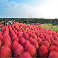 供应红色花卉种子   一串红  剪秋罗  红地肤
