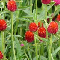 红色花卉种子  红蓖麻  千日红