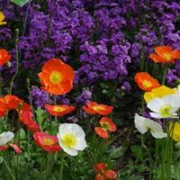 冰島虞美人又叫冰島罌粟   供應各類花卉種子苗木種子草籽