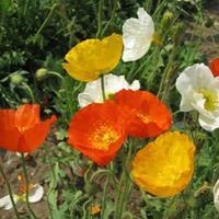 冰島虞美人花色多為紅色,花朵較大,花徑約10厘米 批發