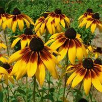 批发黄色花卉种子 黑心菊种子