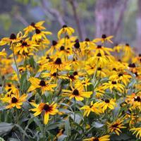 黑心菊,全名:黑心金光菊  批發花卉種子