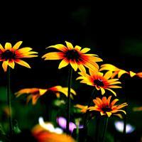 黑心菊種子 華中地區可秋播,露地越冬。亦可作切花。
