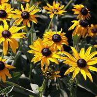 黑心菊种子   多年生草本,一般作1-2年生栽培