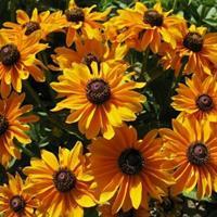 黑心菊种子   株高60-100cm  花期持久  、、