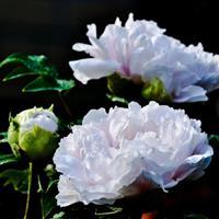 牡丹,又称鼠姑、鹿韭、白茸、木芍药、百雨金、洛阳花、富贵花