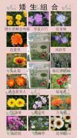 供應矮生組合種子 風鈴草,常夏石竹,天人菊