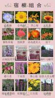 供應宿根組合種子,天人菊,松果菊,黑心菊