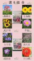 供應速8組合種子,金盞菊,蛇目菊,百日草等