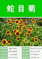 批发蛇目菊种子,花色红黄色  緑康态种业