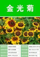批发金光菊种子 多年生草本 花期6-9月  ///