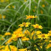 供应黄色花卉种子  野菊花  勋章菊