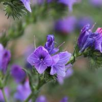 供应蓝色花卉种子   薰衣草  千鸟草