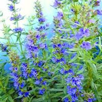 供应蓝色花卉种子 神香草  蓝花鼠尾草