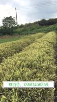 菲白竹地栽苗、小杯苗、大杯苗、大盆苗等