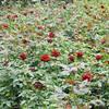 大花月季、玫瑰月季、丰花月季、红帽月季、地被月季、藤本月季