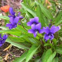 紫色花卉种子 紫茉莉 紫花地丁