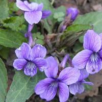 江苏供应紫花地丁种子 全草供药用,能清热解毒,凉血消肿