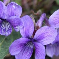 批发紫花地丁种子  直接地播,很快就可以发芽出苗
