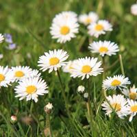 白色花卉种子 大滨菊  旱金莲