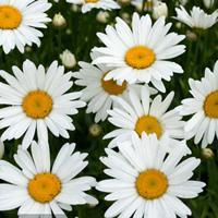 大滨菊种子  多年生宿根草本植物,茎高30~70厘米