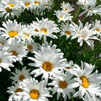 大滨菊 花期在每年4-6月  供应各种花卉种子