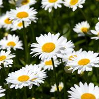 大滨菊种子  多年生宿根草本植物,茎高40至100厘米 、、