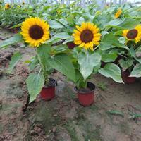 向日葵种苗大量供应