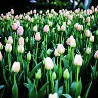 多年生花卉 郁金香 耐寒零下35度