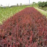 供应紫叶小檗、洒金柏、小叶黄杨、龙柏、绣线菊、小叶女贞