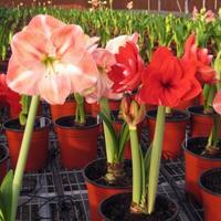江苏绿康态种业销售进口朱顶红、铃兰、韭兰等种球