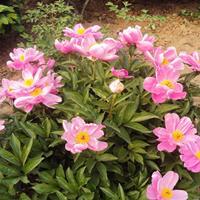 江苏绿康态种业销售进口芍药、仙客来、彼岸花等种球