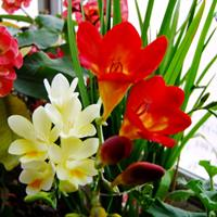 江苏绿康态种业销售进口香雪兰、大丽花、水仙等种球11