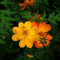硫华菊是菊科秋英属的一年生草本植物,是波斯菊的一种