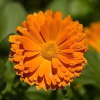 快乐赛车开奖橙色花卉种子 金盏菊