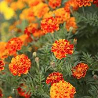 用作化妆品或食用,叶和花瓣可食用,作菜肴的装饰 金盏菊