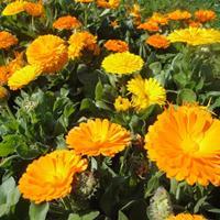 快乐赛车开奖金盏菊种子 株高30~60cm,为二年生草本植物