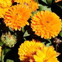 金盏菊种子怎么播种  江苏緑康态种业