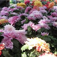 专业销售郁金香等各种高质量进口、国产花卉种球