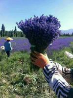 薰衣草种子  可提炼精油 制作干花