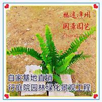 肾蕨 高25-30