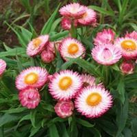 矮杆花卉种子  大滨菊 麦秆菊