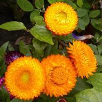 麦秆菊别名蜡菊、贝细工,是多年生草本植物 批发花卉种子