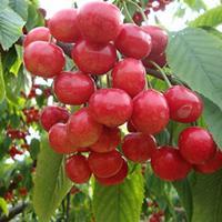 车厘子樱桃苗批发 嫁接樱桃果树苗 优质樱桃苗价格