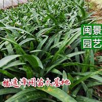 蜘蛛兰 高30 福建漳州闽景园艺场