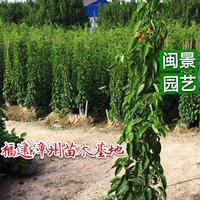 炮仗花 高1.8–2米 福建漳州闽景园艺场