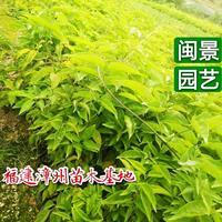 炮仗花 高30 福建漳州闽景园艺场