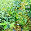 月季 高25-30 福建漳州闽景园艺场