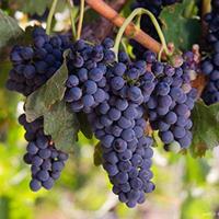 苗圃直銷葡萄苗 優質夏黑葡萄苗 葡萄苗種植技術及價格