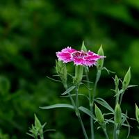 供应矮杆花卉种子  石竹  紫花地丁